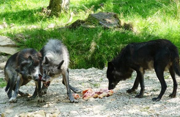 Loups noirs Sainte-Croix